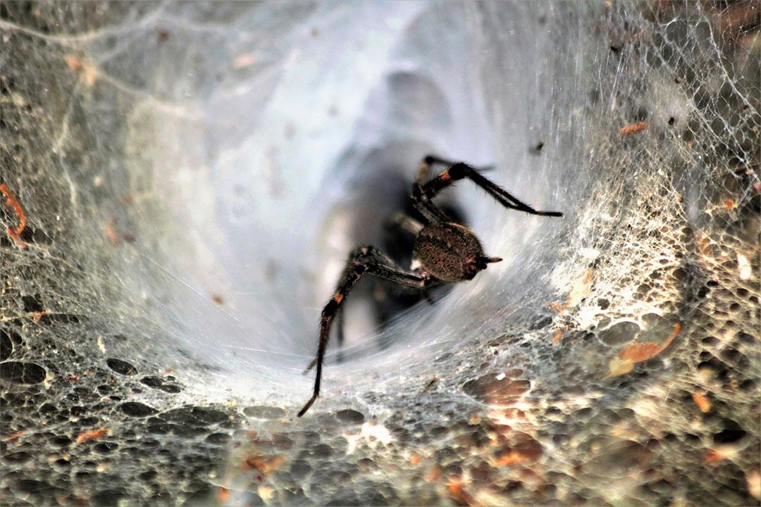 Funnel weaver spider inside funnel web