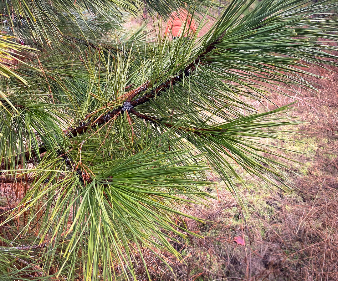 Ponderosa pine needles up close